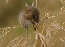Мыши малютки
